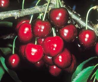 Cherry - Lapins