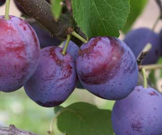Plum - Late Muscatelle