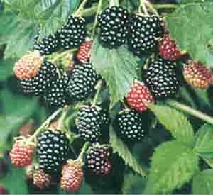 Blackberry - Loch Ness