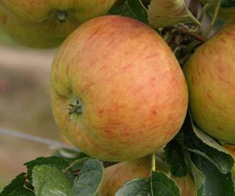 Apple - Lynn's Pippin