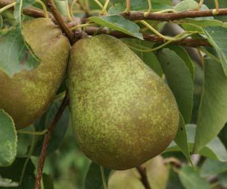Pear - Magyar Kobak