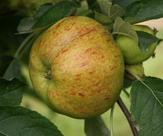 Apple - Maltster