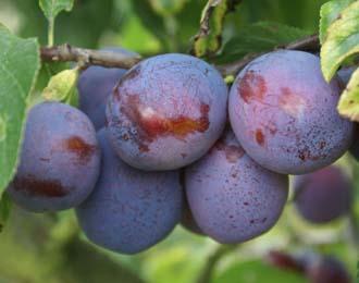 Plum - Marjorie's Seedling
