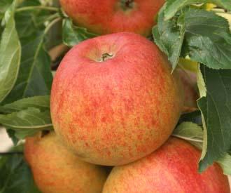 Apple - Merton Beauty
