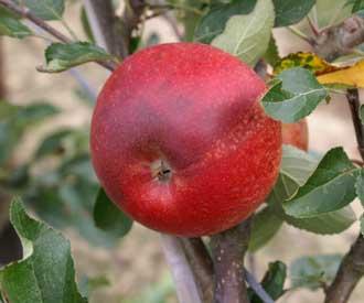 Apple - Merton Charm