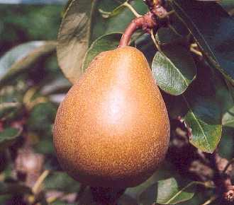 Pear - Merton Pride