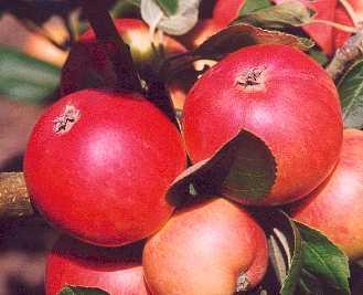 Apple - Miller's Seedling