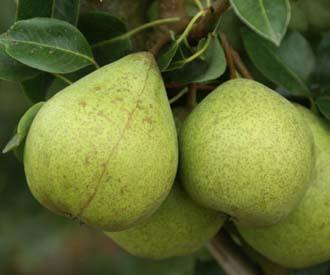 Pear - Moorcroft