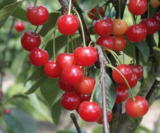 Cherry - Morello