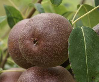 Pear - Mrs Seden