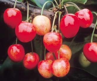 Cherry - Napoleon
