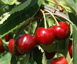 Cherry - Noble