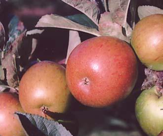 Apple - Northern Greening