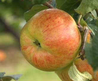 Apple - Osennee Desertnoe