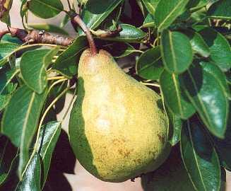 Pear - Packham's Triumph