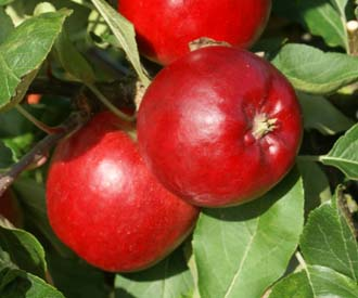 Apple - Park Farm Pippin