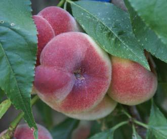 Peach - Saturn