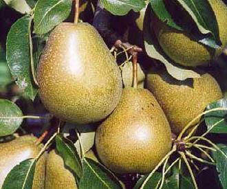 Pear - Beurre d'Amanlis