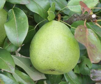 Pear - Beurre de Naghin