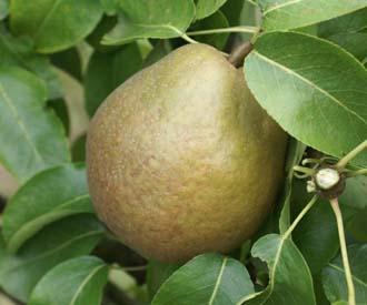 Pear - Beurre Gris d'Hiver