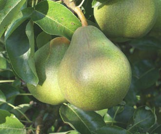Pear - Doyenne du Comice