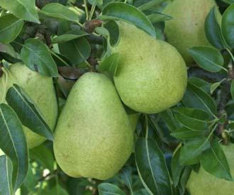 Pear - Dr Jules Guyot