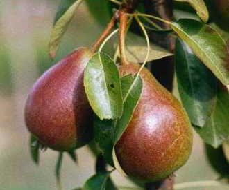Pear - Louise Bonne of Jersey