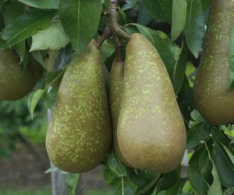 Pear - Merton Star