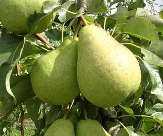 Pear - Nuvar anniversary