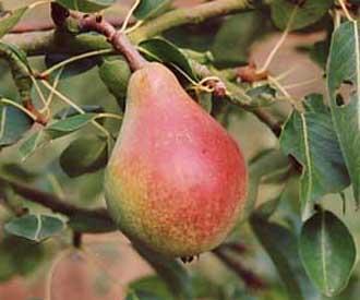 Pear - Robin