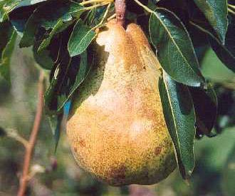 Pear - Seckel