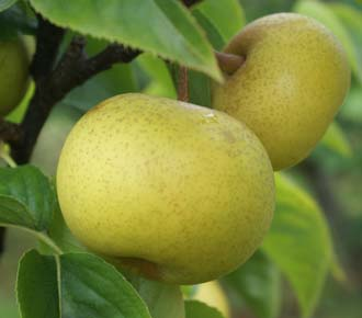 Asian pears wholesale