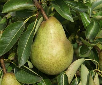 Pear - Williams Bon Chretien