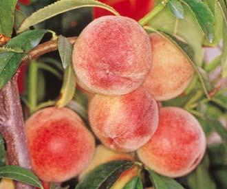 Peach - Peregrine