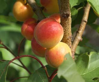 Apricot - Petit Muscat