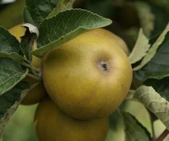 Apple - Pigeonette de Rouen