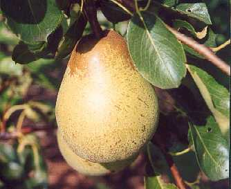 Pear - Pitmaston Duchesse