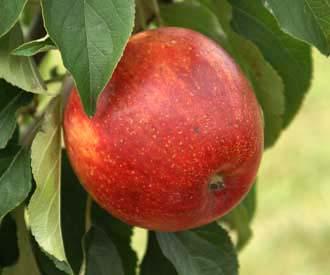 Apple - Plymouth Cross
