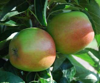 Apple - Polka