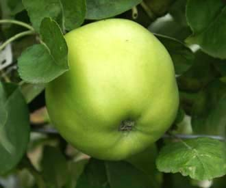 Apple - Potts' Seedling