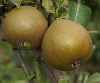 Pear - President Barabe