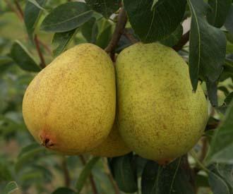 Pear - Precoce de Trevoux