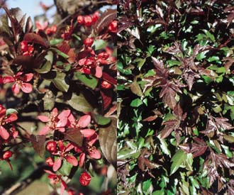Crab Apple - Profusion Improved