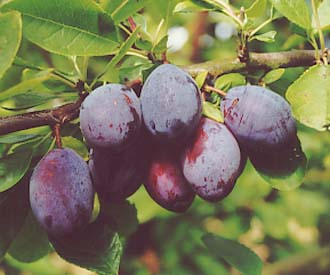 Plum - Purple Pershore