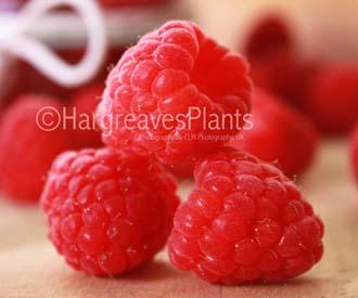 Raspberry - Cascade Delight