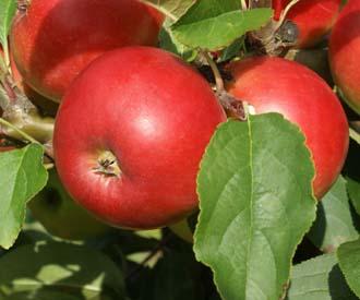 Apple - Nuvar® Red Gloss