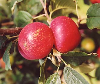 Apple - Red Joaneting