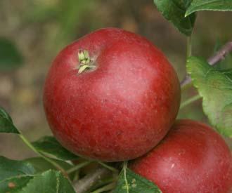 Apple - Redsleeves