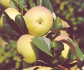 Apple - Reverend W  Wilks