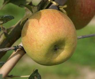 Apple - Rosy Blenheim